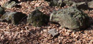 Pedra tosca: roques volcàniques a la Fageda d'en Jordà.